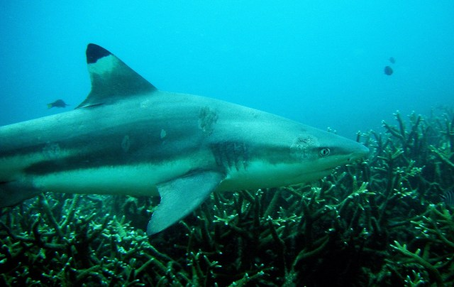 Reef shark copy copy 1