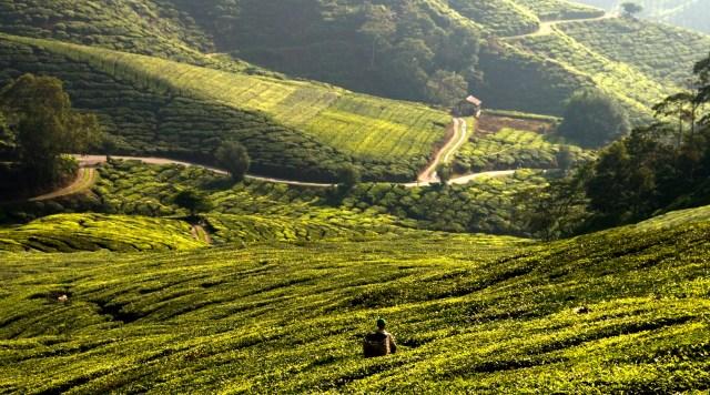 Tea plantage 2 copy 1